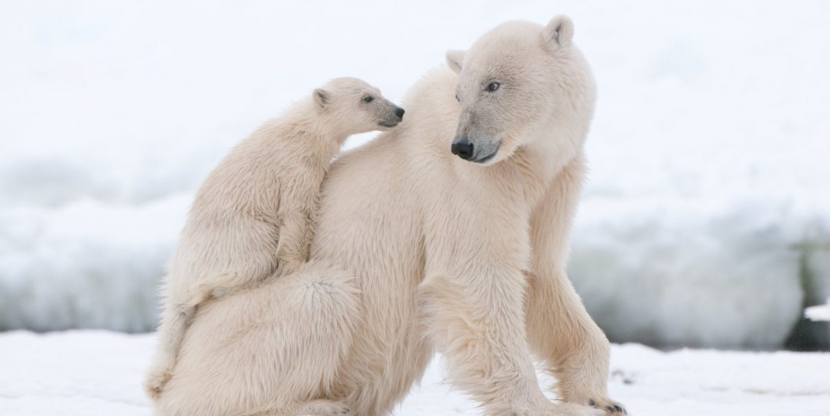 Giải mã giấc mơ thấy gấu bắc cực – Mơ thấy gấu đánh con gì?
