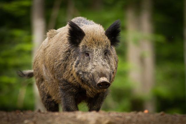 Mơ thấy lợn rừng